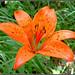 #abruzzo #fiore #flower di #giglio #rosso #gigliorosso (#lilium #bulbiferum) in #estate #summer nel #parconazionalegransassomontidellalaga