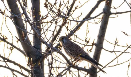 Birdie Spotting on the Hungary-Austrian Border @ Niklesdorf..