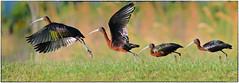 Glossy Ibis takeoff