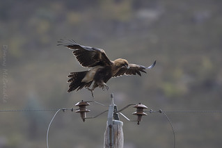 Wedge-tailed Eagle Tennent ACT