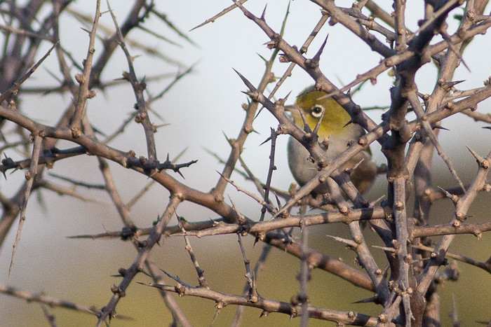 Silvereye in the thorns