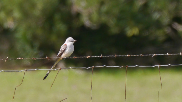 Scissor-tailed Flycatcher - 1 - 1