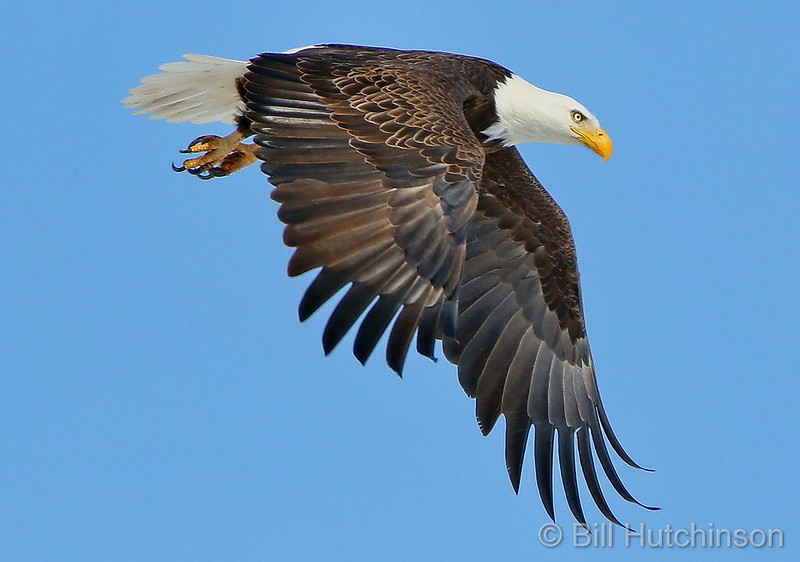 A bald eagle takes flight over Adams County. (Bill Hutchinson)