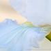 White Iris, 2.9.18
