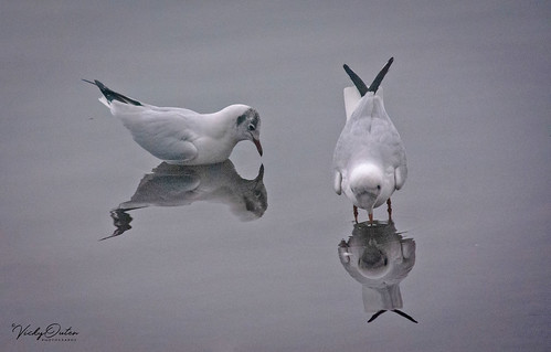 Gulls. Mirror mirror on the water... (Explored 15/01/19)