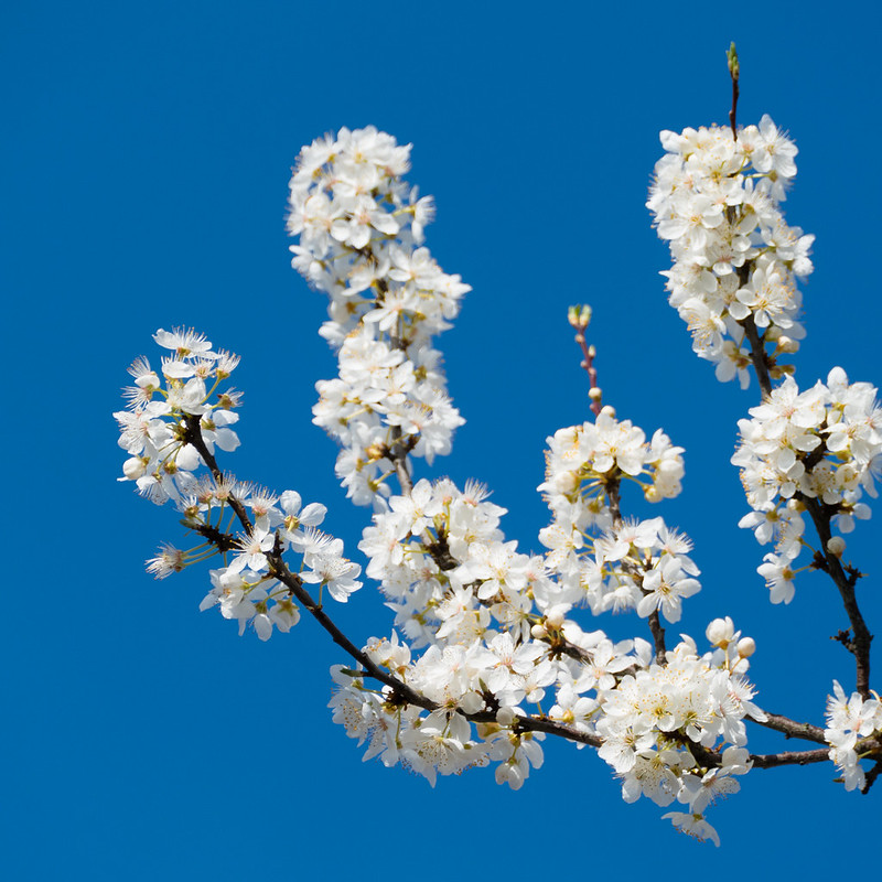 White cherry blossom on a spring-like morning