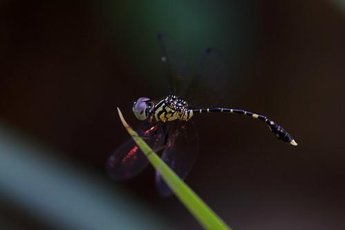 Nannophlebia risi