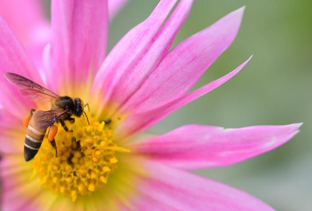 Honey Bee :)