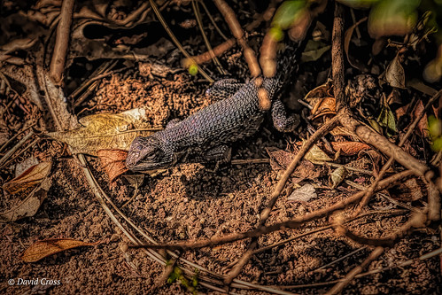 nevadacity cementhillhouse nevadacounty lightroom6 canon7d topazstudio reptile canon70200mm28l sierranevadafoothills westernfencelizard