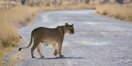 Lioness crossing