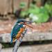 Kingfisher 1903171300.jpg