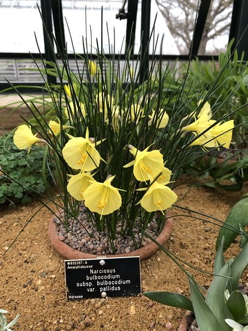 narcissus bulbocodium bulbocodium pallidus
