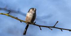 Woodland Birds.