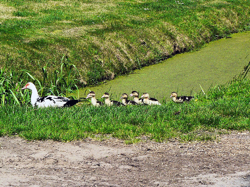 Muscovy duck with ducklings (1000784)