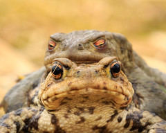 Some thoughts on the Common Toad