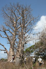 mayotte---baobabs-pointe-saziley_4995099399_o