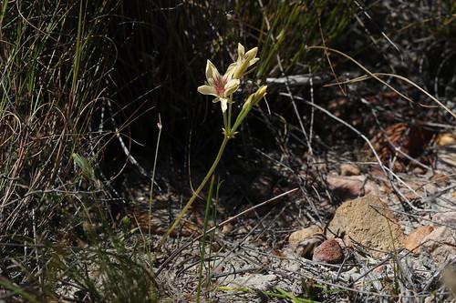 Pelargonium carneum in habitat