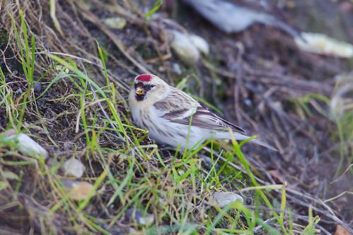 Hvidsisken, Carduelis hornemanni, Arctic Redpoll