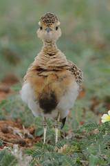 Temminck's courser, Cursorius temminckii, at Mapungubwe National Park, Limpopo Province, South Africa