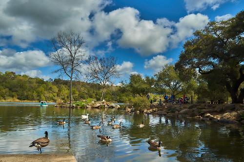 Geese at Spring Lake