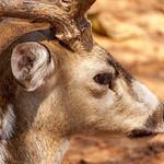 Deer Head View