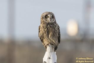 Short-eared Owl (9109)