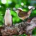 COSTA RICA   :   Troglodyte à dos roux  (Campylorhynchus capistratus)