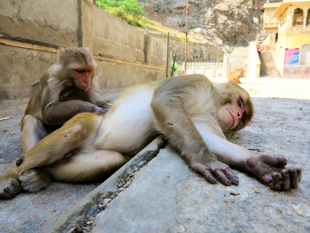 Monos en Jaipur