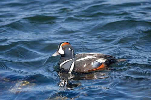 Male Harlequin Duck cruising