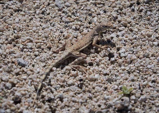 Zebra-tailed Lizard, Callisaurus draconoides rhodostictus
