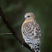 Red-shouldered Hawk by Greg Lavaty Photography