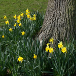 Daffs at Avenham Park, Preston