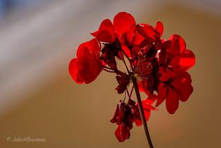 Backlit Geranium