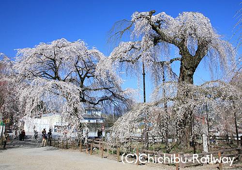 秩父荒川 清雲寺のしだれ桜