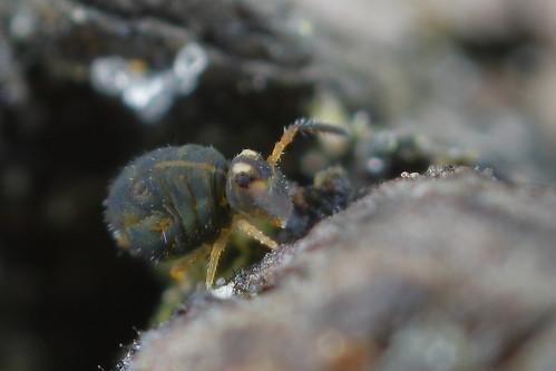 probably: Sminthurinus aureus f. reticulatus