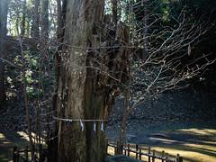 sacred tree