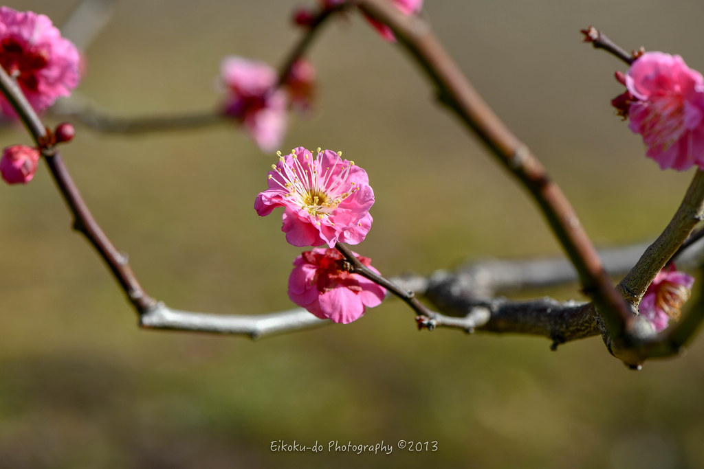 Hama Rikyu Gardens / a lot of red plum, white plum
