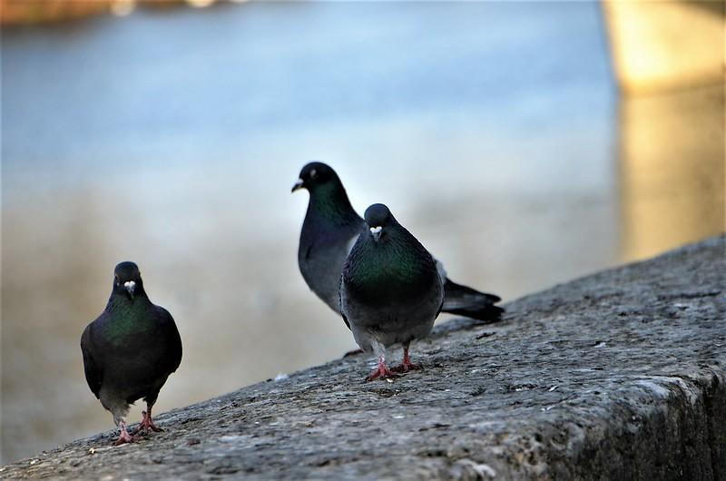 Pigeons 26.01 (2)
