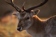 Fallow Buck in Winter