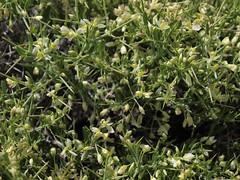 intermountain milkwort, Polygala intermontana