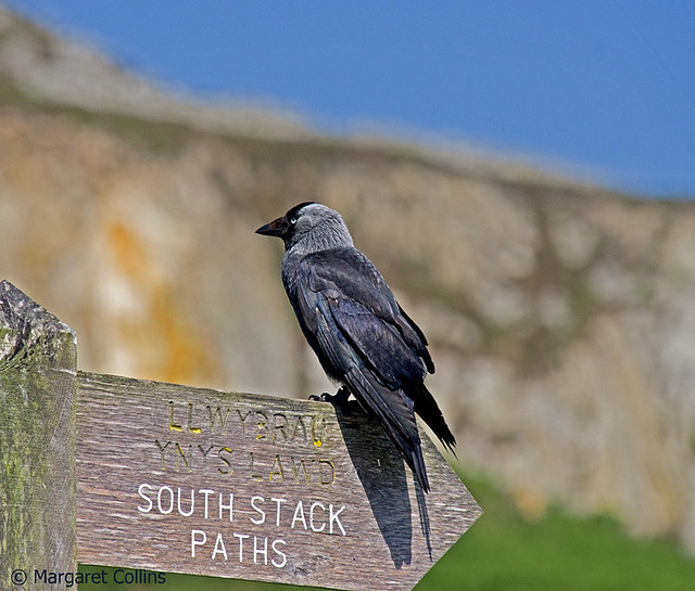 Corvus monedula - Jackdaw
