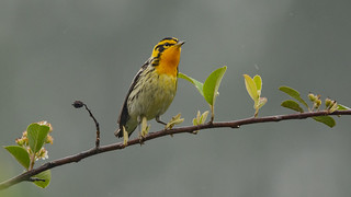Blackburnian Warbler in Colombia
