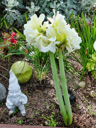 2019-03-24 - Nature Photography - Flowers - Amaryllis