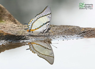 Reflection | by Antonio Giudici Butterfly Trips