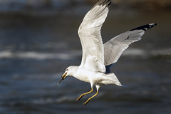 Ring-billed Gull with fish....6O3A8828CR2A
