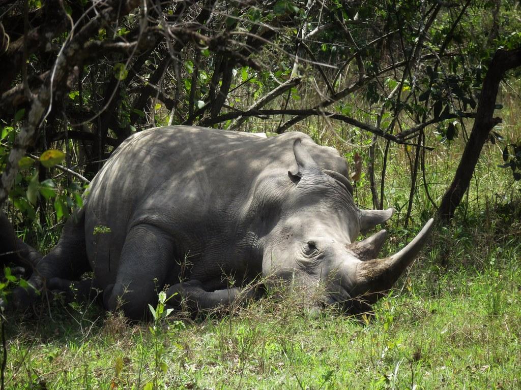 White rhino resting in the shade, Ziwa  Rhino Sanctuary, Uganda