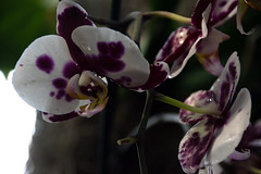 2019 Orchid Show-22
