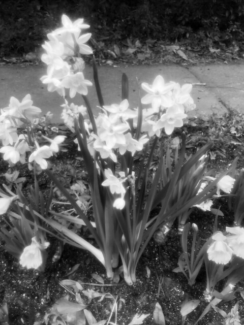 Black and White Buttercups Fairhope