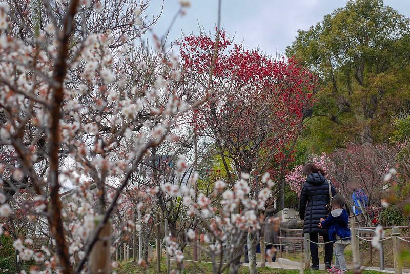 岡本梅林公園2019