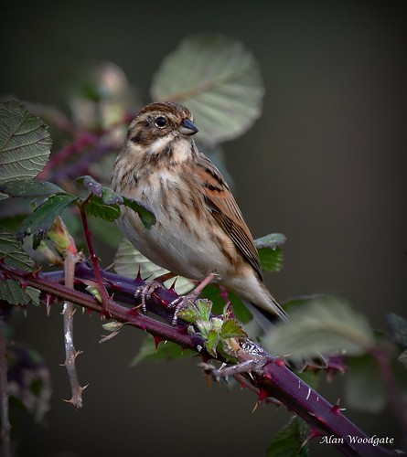 Reed Bunting (female) - Bedfordshire